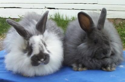 种可爱的宠物兔